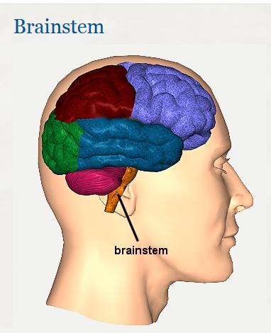 brain-stem-em2