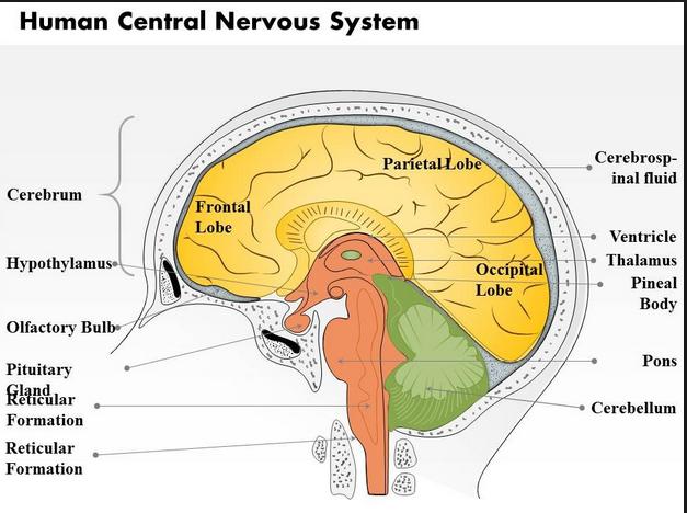 central nervous